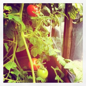 First tomatoes!